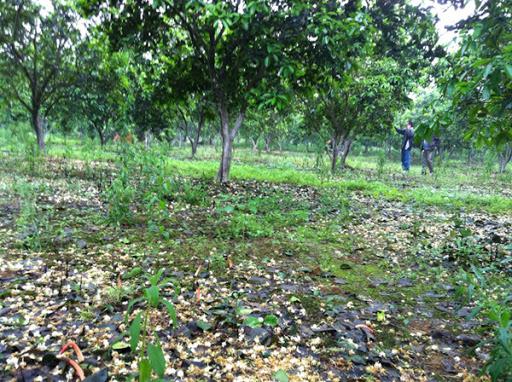 Khắc phục hiện tượng rụng hoa, quả trên cây bưởi Diễn -  khac-phuc-hien-tuong-rung-hoa-qua-tren-cay-buoi-dien -  tuyensinhtuyendung.vn -